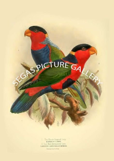 Fine art print of the Black-capped Lory - Lorius hypoenochrous & Red-breasted Lory - Lorius erythrothorax by St George Mivart (1896)